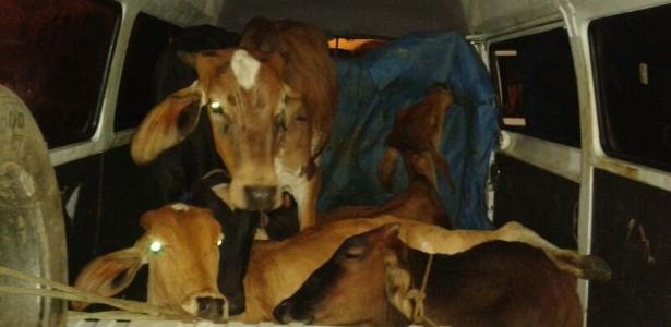Homens são detidos transportando vacas dentro de uma Kombi