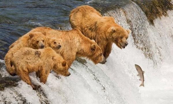 Ursos esperando os peixes que sobem o rio para desova / Crédito: BuzzFeed