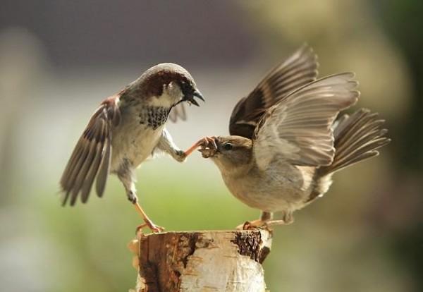 Casal de pardais discutindo a relação / Crédito: Urs Schmidli