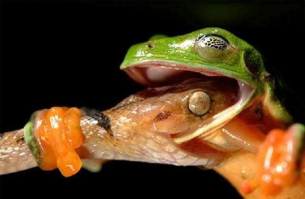 Cobra ataca sapo / Crédito: David Maitland