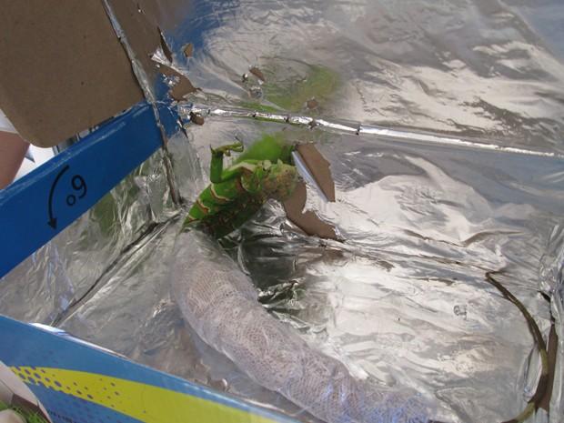 Réptil foi encaminhado para Hospital Veterinário da cidade (Foto: PM do Meio Ambiente Uberaba/ Divulgação)