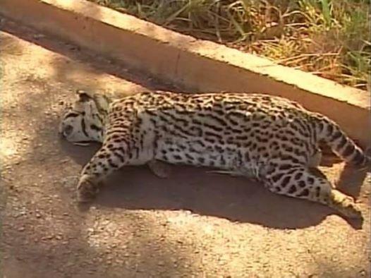Corpo do animal ficou no acostamento da BR-365 (Foto: Reprodução/TV Integração)