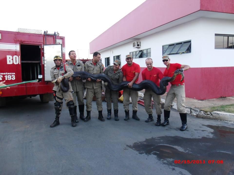 Cobra sucuri preta de 7 metros é capturada em Luziânia-GO