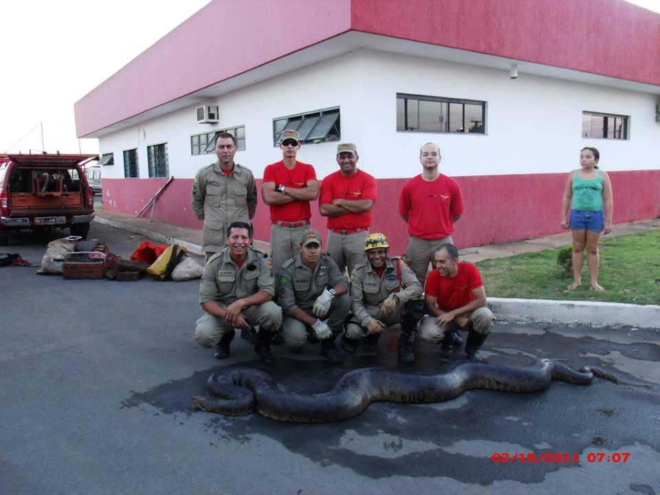 Cobra-sucuri-de-7-metros