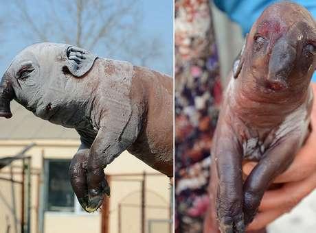 """""""Porco-elefante"""" nasce com tromba na China e assusta donos"""