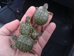 Tartarugas foram apreendidas e serão levadas ao Hospital Veterinário (Foto: Divulgação/Polícia Militar)