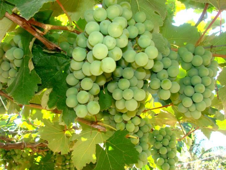 Minas Gerais potencializa produção de uvas para sucos e vinhos finos