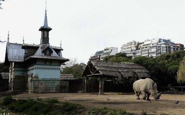 Rinoceronte pasta no zoológico de Buenos Aires, que será fechado para virar um parque ecológico