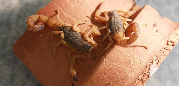 Escorpiões da espécie Tityus serrulatus criados no Centro de Controle de Zoonoses de Ribeirão Preto