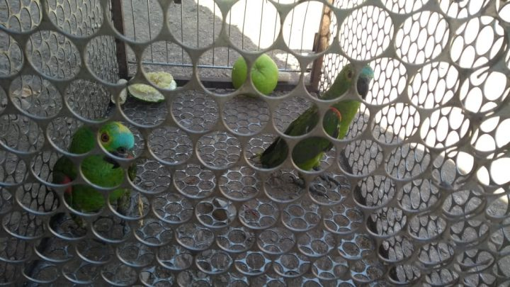 Aves silvestres eram mantidas em cativeiro (Foto/PMA: Divulgação)