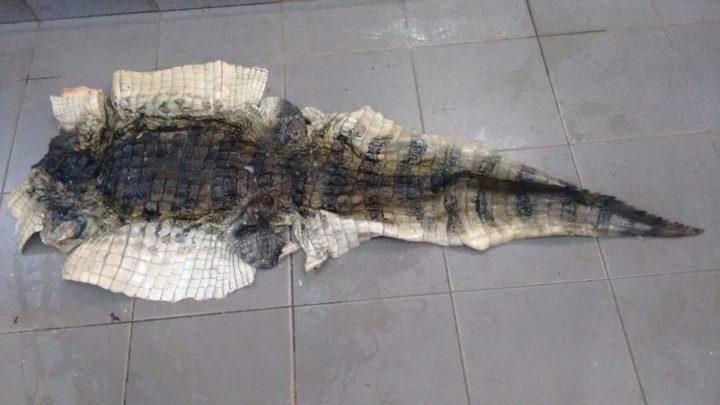 Partes do couro de uma jacaré são encontradas em um supermercado de Araguari — Foto: Polícia Militar de Meio Ambiente/Divulgação