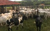 Polícia Civil de Minas Gerais prende suspeito de furto de 43 cabeças de gado Nelore em Santa Vitória (Foto: PCMG)