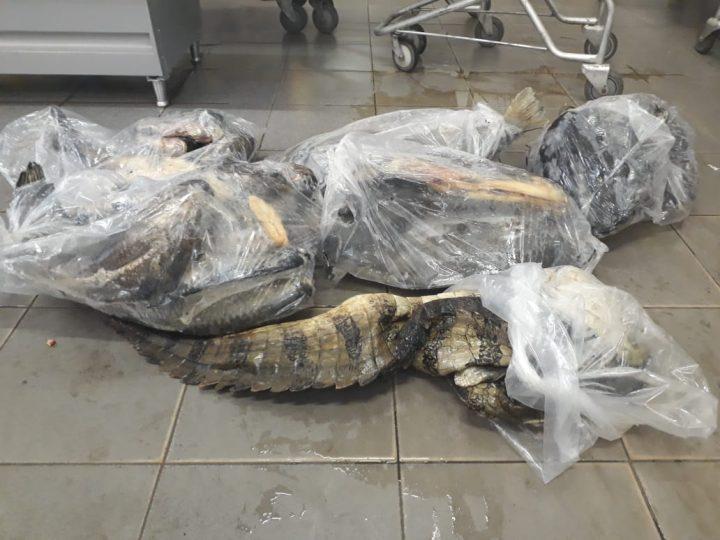 Partes do couro de uma jacaré e peixes protegidos pela piracema foram encontrados no supermercado — Foto: Polícia Militar de Meio Ambiente/Divulgação