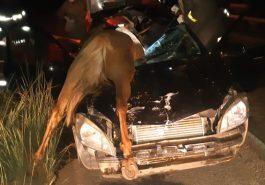 Animal na pista causou acidente (Foto: PRF/GO)