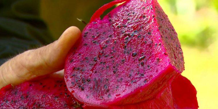 Pitaia vermelha é a mais consumida — Foto: Wilson Aiello/EPTV