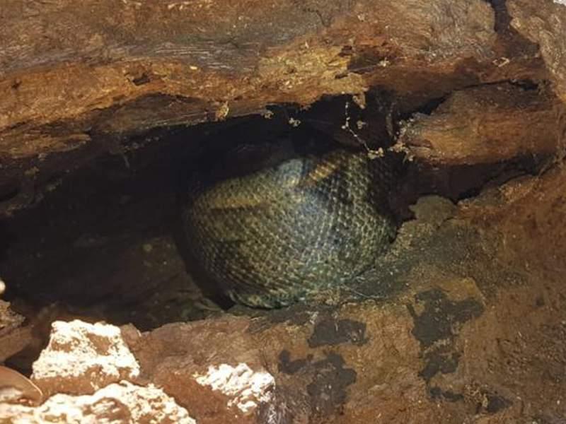 Animal estava em um tronco e foi capturada pelos Bombeiros (Foto: Bombeiros/Divulgação)