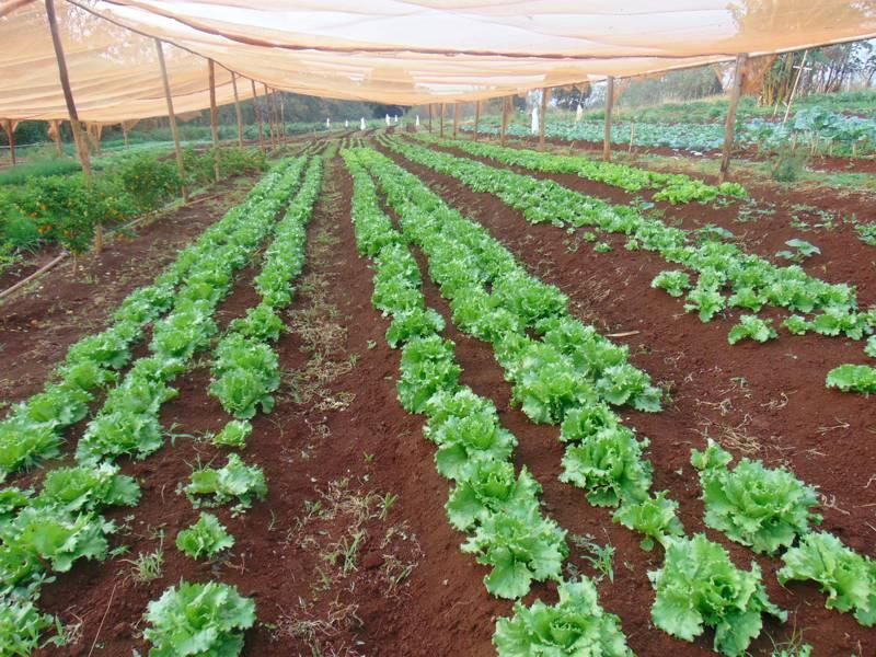 Plantação de alface produzida na estufa (Foto: Ascom)