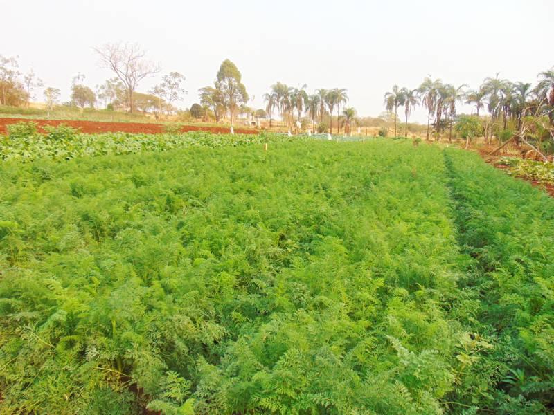 Produção de cenoura (Foto: Ascom)