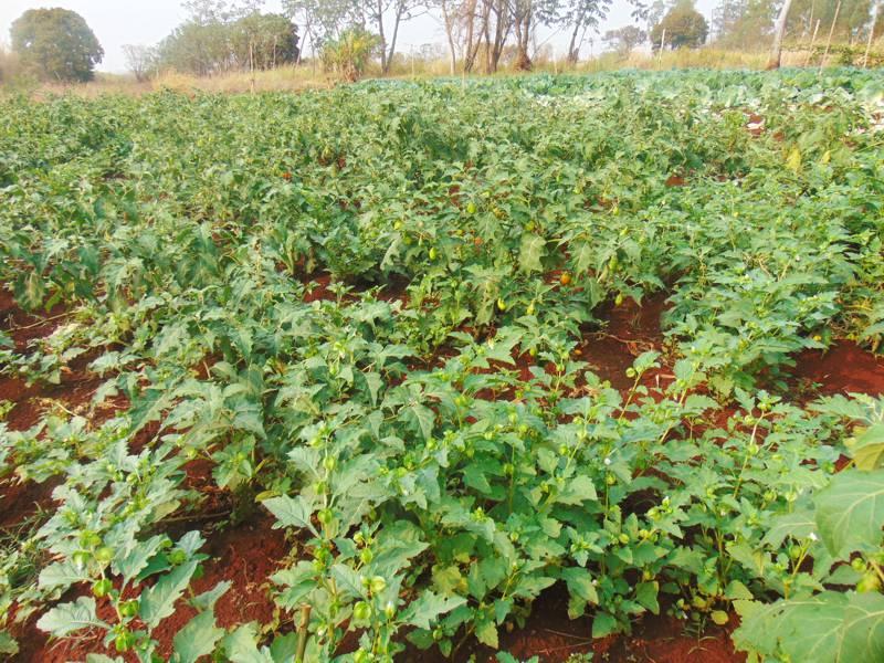 Produção de pimentão (Foto: Ascom)