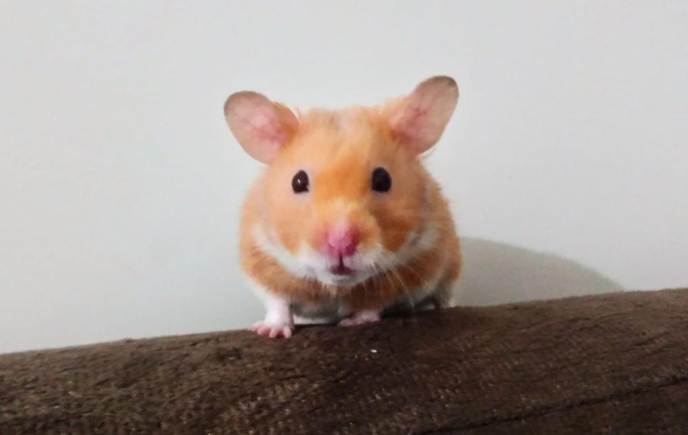 Hamster Im Po