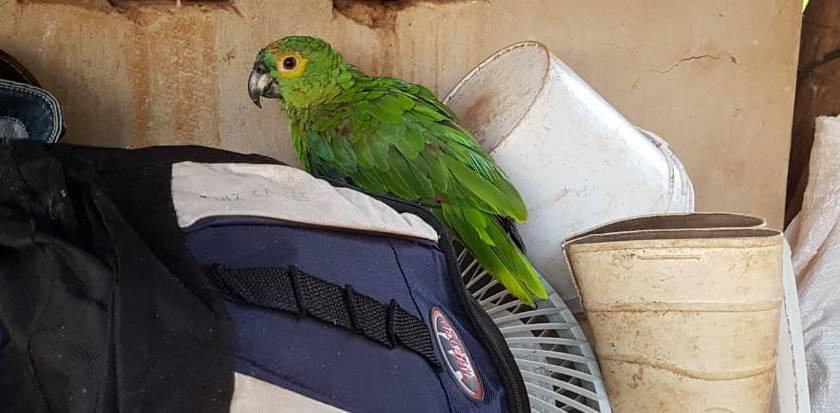 Papagaio estava com a cortada e estava domesticado (Foto: PMMA/Divulgação)