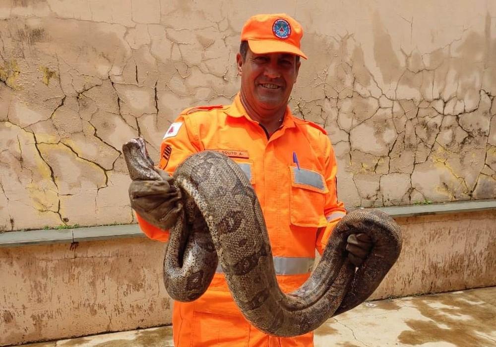 Jiboia de tamanho considerável foi devolvida à natureza em Patos de Minas após captura segura — Foto: Corpo de Bombeiros/Divulgação