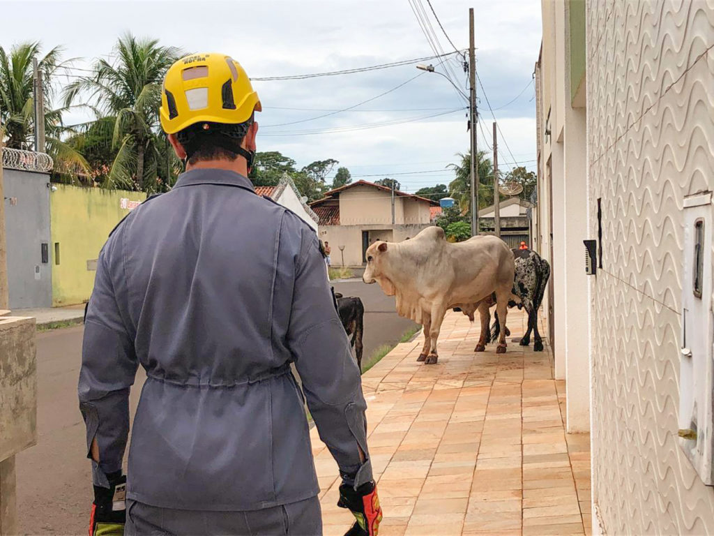 Uma vaca e um bezerro foram levados para fazer apadrinhamento para capturar o boi (Foto: Bombeiros/Divulgação)