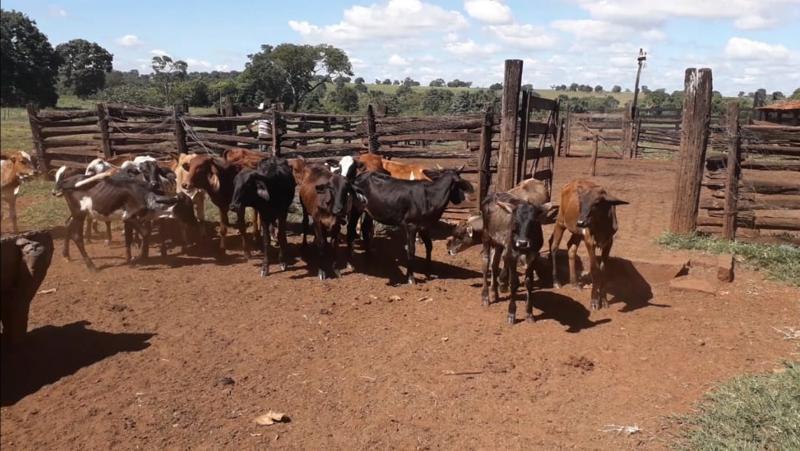 Os animais da raça anelorado estão avaliados em torno de R$ 19 mil e haviam sido furtados de um fazendeiro na zona rural da cidade de Prata-MG | Foto: PMMG/Divulgação