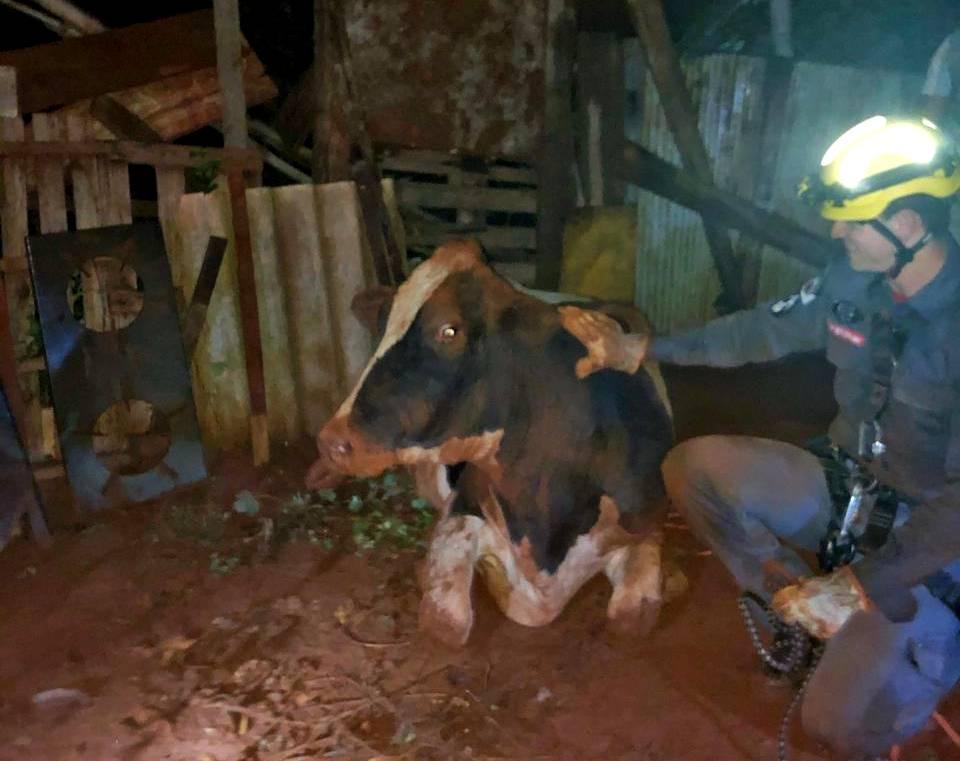 Vaca foi resgatada pelos militares| Foto: Bombeiros/Divulgação
