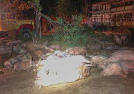 Dezenas de porcos morreram no acidente | Foto: PRF/Divulgação