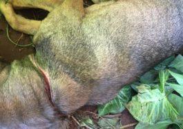 Animal apresentava ferimento no pescoço, causado por uma corda | Foto: PMMA/Divulgação