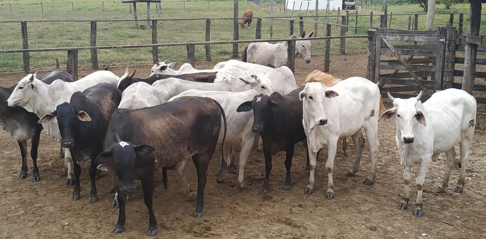 PCMG recuperou 18 cabeças de gado   Foto: PCMG/Divulgação
