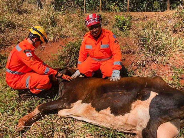 Vaca caiu em grota e teve de ser resgatada pelos Bombeiros   Fotos: Bombeiros